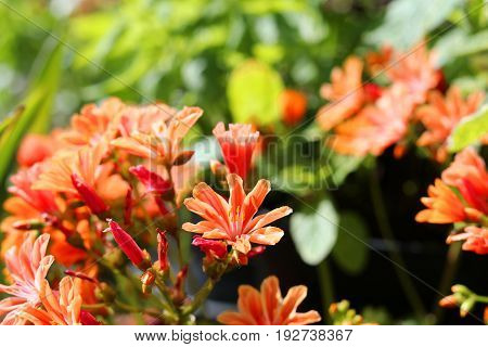 Close up of an lewisia plant with orange flowers