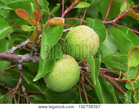 The apricots that stand in the tree that have just begun to mature,