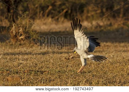 Eastern Pale Chanting Goshawk
