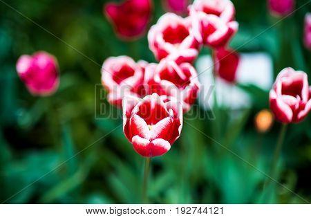 Tulipa Triumph Grp Whispering Dream for nature background