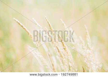 Spikelets in the field on a summer sunny day