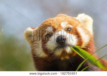 Cross-eyed animal. Cute red panda (Ailurus fulgens) eating looking at bamboo shoots. Funny meme image.