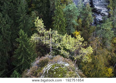Two coniferous pine trees grow on a high rock mossy mountain in the middle of a green boundless forest in a clear summer or autumn day.