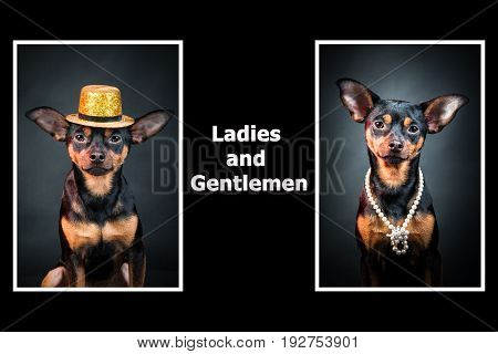 Portraits of dogs. Man and woman. Ladies and gentlemen. The concept of duality. Toy terrier in a hat. Toy terrier in pearl beads.