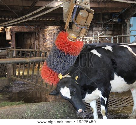 A Dairy Farm Cow Using a Motorised Back Scratcher.