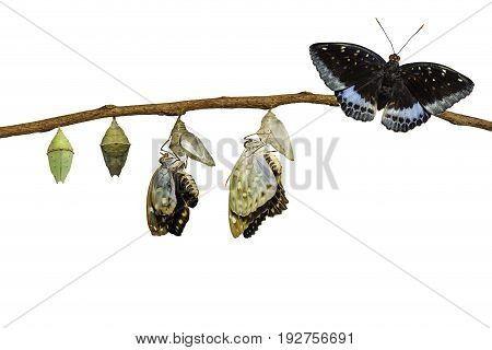 Isolated Transformation Of Male Common Archduke Butterfly Emerging From Chrysalis ( Lexias Pardalis