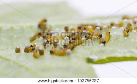 Caterpillar Of Leopard Lacewing (cethosia Cyane Euanthes) Butterfly Emerging From Eggs And Eating Th