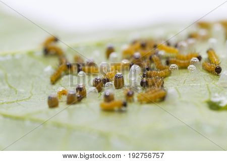 Caterpillar Of Leopard Lacewing (cethosia Cyane Euanthes) Butterfly Emerging From Eggs