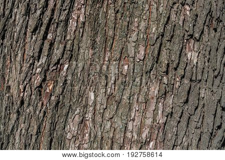 Bark of tree. Old natural wooden shabby background . Wood Texture. The texture of the tree trunk.