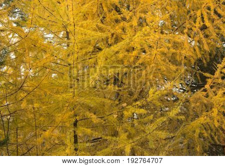 Autumn Leaves Background. Yellow Needles Of Larch. Pine Tree