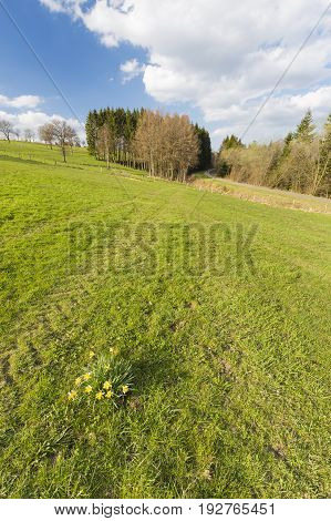 Daffodils And Meadow In The Eifel, Germany