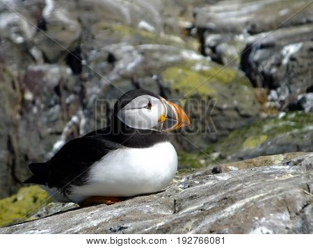Puffin at rest amongst rocks during the breeding season