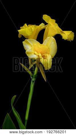 Beautiful yellow day lily against a black background