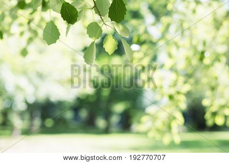 Beautiful spring nature background with poplar foliage