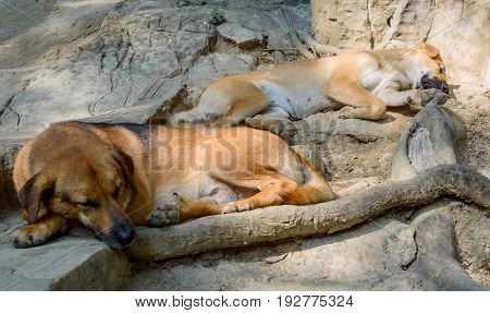 Two Homeless Dogs Sleeps On Stone