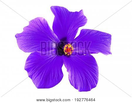 Beautiful purple hibiscus flower with green leaves on a white background