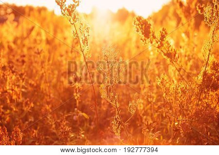 Dry grass against a summer sunset. Toned in warm colors soft focused