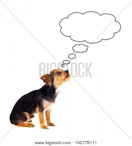 Pensive small dog with cut hair isolated on a white background