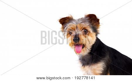 Cute small dog with cut hair isolated on a white background