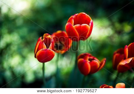 Dark Orange tulips world favorite. Darwin Hybrid Tulips background