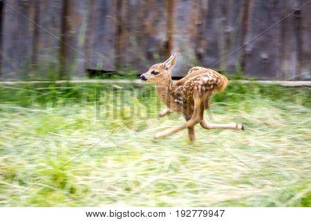 A little scared deer runs off pasture