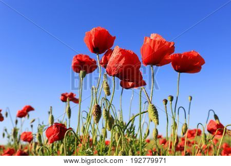 red poppy flowers in summer time