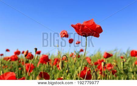 red poppy flowers on summer meadow under blue sky