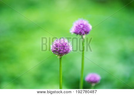 Flower head of Allium Purple Sensation Allium aflatunense Moscow, Russia.