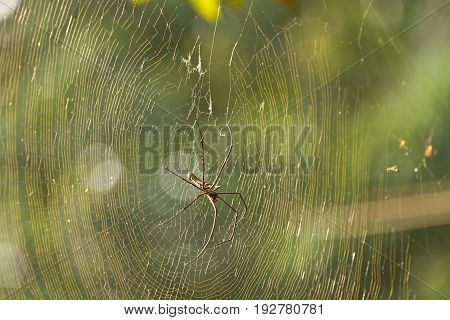 Nephila Maculata, Giant Wood Spider in the forest of Laos