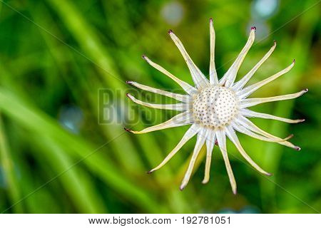 bold dandelion flower on a green grass background with copy space