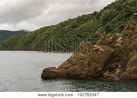 Picton New Zealand - March 12 2017: A few King Shag Cormorant birds on the rock in Okahu Bay under gray cloudy sky. Green forested mountains in back.