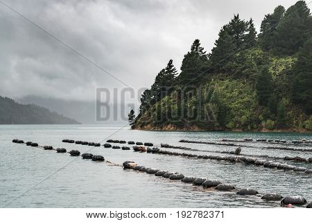 Picton New Zealand - March 12 2017: Multiple lines of floaters holding strings with growing mussels in Hitaua Bay. View over bay under stormy cloudy sky. Green forested mountain on the side.