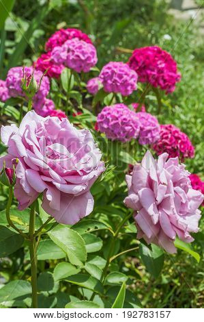 Flowers of a pink rose against the background of a blossoming sweet-william in a summer garden close-up