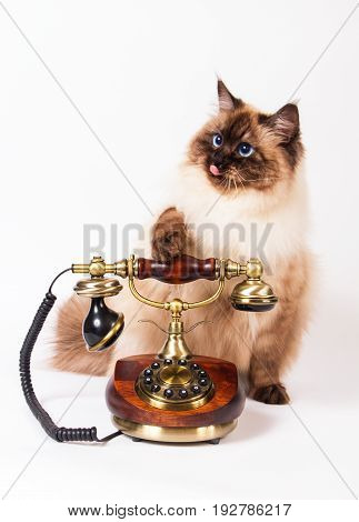 Young siberian  color-point cat with retro telephone call expectation