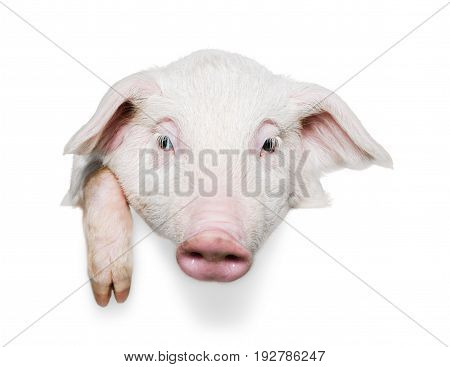Pig domestic animals farm animals livestock farming livestock feed livestock breeding color