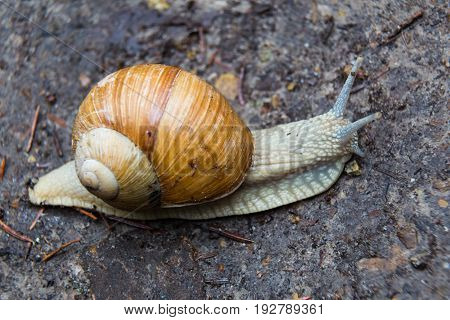 Snail gastropod mollusk with spiral sheath on the ground close up.