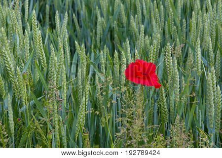 Lone poppy growing in wheat field in East Sussex England. Shown on right of image.