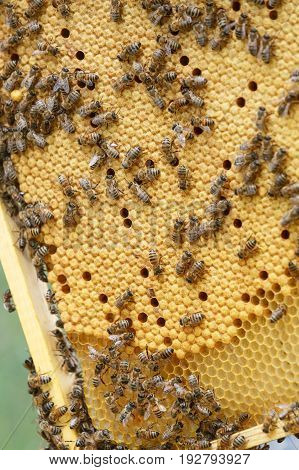 A lot of bees crawling on sealed honeycombs