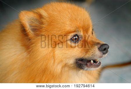 Dog Pom