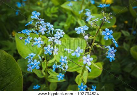Forget Me Not. Blue Flowers In Spring Garden