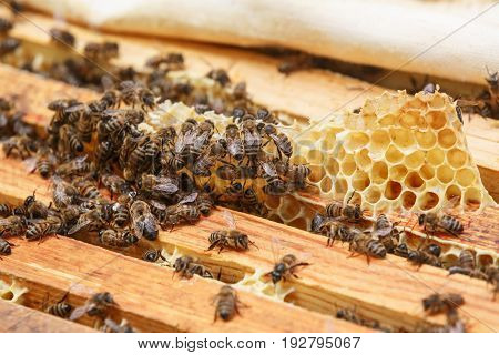Many bees eat the remains of honey from honeycombs in a hive