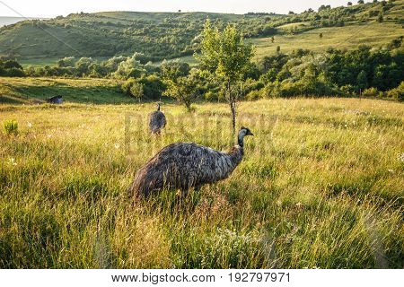 Wild emu carefully watching and another walking in the field