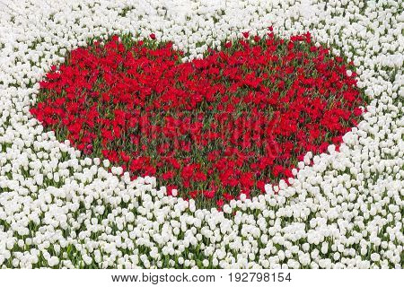 Field of white tulips with heart shape of red tulips
