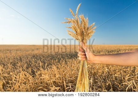 the man holding the ripened gold cones of wheat on blue sky and wheat field background. agriculture, agronomics, food, organic, harvest concept. production of wheat.
