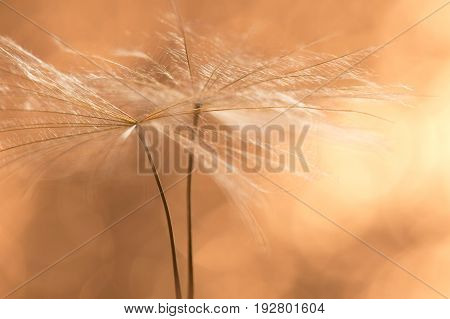 Dandelion seeds closeup in Golden. Beautiful macro of a dandelion. Selective soft focus.