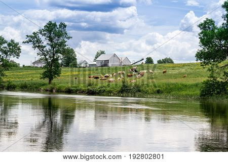 cows herd by the river Quebec Canada at summer daytime