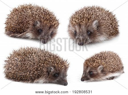 Set of small hedgehog isolated on white background