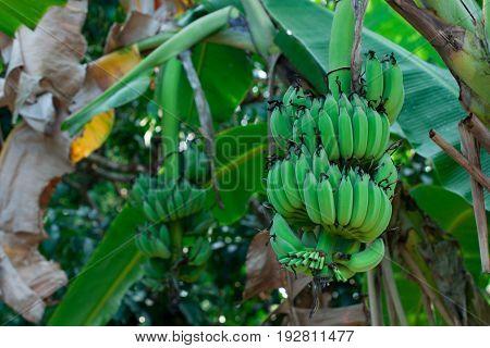 Unripe bananas on a banana tree in the jungle