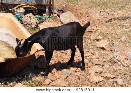 Black billy goat drinking from rusty old bathtub in greek countryside
