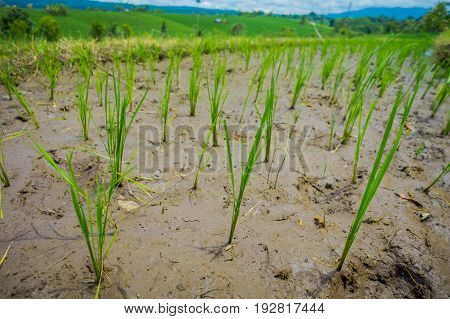 Close up of small plants of rice growing in terraces in Ubud, Bali, Indonesia.